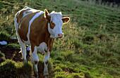 Cow on alpine pasture, Bavarian alps, Upper Bavaria, Bavaria, Germany