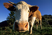Close-up of cow on alpine pasture, Bavarian Alps, Upper Bavaria, Bavaria, Germany