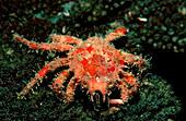 Ornamental crab , Schizophrys aspera, South Chinese Sea, Malaysia