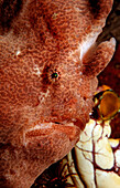 Giant frogfish, Antennarius commersonii, Indonesia, Bali, Indian Ocean
