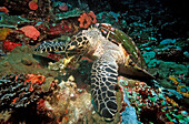 Hawksbill turtle eating sponge, Eretmochelys imbricata, Bali, Indian Ocean, Indonesia