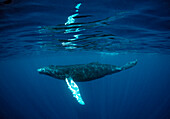 Humpback whale, Calf, Megaptera novaeangliae, Dominican Republic, Silverbanks, Caribbean Sea