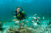 Surgeonfishes and scuba diver, Ancanthurus chirurgus, Punta Cana, Caribbean Sea, Dominican Republic