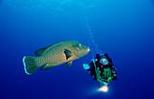 Scuba diver and Humpback wrasse , Cheilinus undulatus, Egypt, Africa, Sinai, Dahab, Red Sea