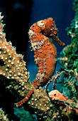 Longsnout Seahorse, Hippocampus reidi, Caribbean Dutch West Indies Island of Saba, Caribbean Sea