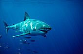 Great White Shark, Carcharodon carcharias, South Africa, Dyer Island, Gansbaai, Atlantic Ocean