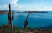 Cardon cactus on coast, Pachycereus pringlei, Mexico, Sea of Cortez, Baja California, La Paz