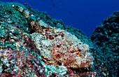 Stone Scorpionfish, Scorpaena plumieri mystes, Mexico, Sea of Cortez, Baja California, La Paz