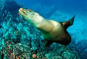 Californian Sea Lion, Zalophus californianus, Mexico, Sea of Cortez, Baja California, La Paz