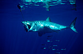 Great White Shark eating fish, Carcharodon carcharias, USA, California, Pacific Ocean, Farallon Island, San Francisco Bay
