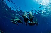 Group of Californian Sea Lion, Zalophus californianus, USA, California, Pacific Ocean