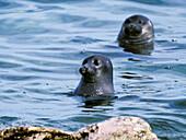 Baikal Seals, Phoca sibirica, Zabaikalsky National park, Ushkan Islands, Lake Baikal, Russia