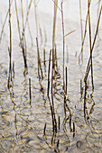 Reed in the shallow waters of Lake Starnberg, Bavaria, Germany