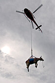 Cow hanging on a rope below a helicopter, Interlaken, Canton of Berne, Switzerland