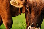 Cattle grazing, Kaufbeuren, Bavaria, Germany