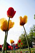 Tulips in spa gardens, Bad Liebenstein, Thuringia, Germany