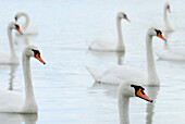 Swans on pond, Plothen Pond Area, Plothen, Thuringia, Germany