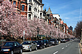 Property and cherry blossoms, Commonwealth Avenue, Boston, Massachusetts, USA