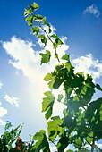 Riesling vine in back light, Trittenheim, Rhineland-Palatinate, Germany