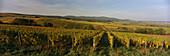 Vineyards close to the town of Geisenheim, Rheingau, Hesse, Germany