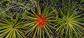 Bromeliads, Caracueve Bromeliads, Refugio de Fauna Silvestre de Cuare, Venezuela, America