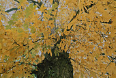 Chestnut tree in Autumn, Bavaria, Germany