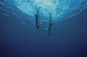 Two Bottlenosed Dolphins, Tursiops truncatus, Islas de la Bahia, Hunduras, Caribbean