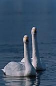 Whooper Swans, Cygnus cygnus, Europe, Japan