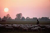 Shepherd with sheep herd, Bavaria, Germany