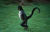 Black Spider Monkey, Ateles paniscus, Honduras, America