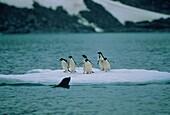 Adelie Penguins and Fur Seal, Pygoscelis adeliae, Arctocephalus gazella, Antarctica