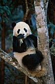 Great Panda eating bamboo, Ailuropoda melanoleuca, Wolong Valley, Wenchuan, Sichuan, Himalaya, China, Asia