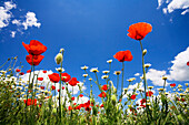 Flower fields with red poppies, Bavaria, Germany