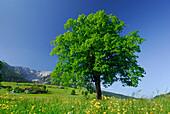 Meadow with deciduous tree, Zahmer Kaiser range in background, Kaiser range, Walchsee, Tyrol, Austria