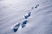 Rabbit track in snow, Chiemgau, Upper Bavaria, Bavaria, Germany
