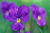violet with raindrops