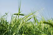 Field of barley, , Carinthia, Austria