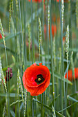 Red poppy between grasses, Hanover, Lower Saxony, Germany