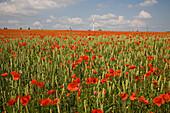 red poppies amongst grain field, wind turbines on horizon, northern Germany, Europe