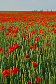 red poppies in grain field, northern Germany, Europe
