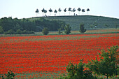 Red poppies in cornfield, Hanover, Lower Saxony, Germany