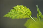 Junges Grün, Blatt, Laub, Frühling, jung, spriessen, Jahresseiten