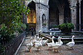 geese in the cloister, Claustro, La Seu, Cathedral de Santa Eulalia, Barri Gotic, Ciutat Vella, Barcelona, Spain