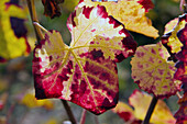 close up of vine leaves, Elsass, France