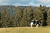 Typical Black Forest Cow on Pasture, near Furtwangen, Black Forest,Baden Wuerttemberg, Germany