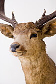Close up of a stag with antlers hung up on a wall, stuffed animal, Bad Tölz, Bavaria, Germany
