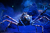 Japanese fighting crab, Underwater World Aquarium, Sentosa Island, Singapore