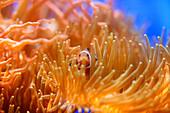 Clownfish, Underwater World Aquarium, Sentosa Island, Singapur