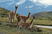 Lama Guanicoe with young animals, Torres del Paine National Park, Andes, Patagonia, Chile