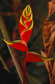 Heliconia flower, Subtropical Rainforest, Iguacu Waterfalls, Misiones, Argentina, South America